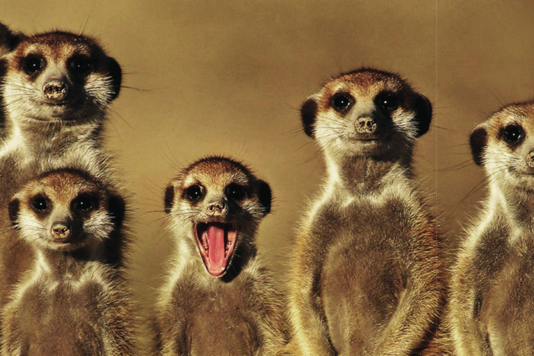 Groupe de suricates